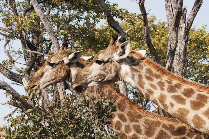 africa-botswana-game drive-giraffe
