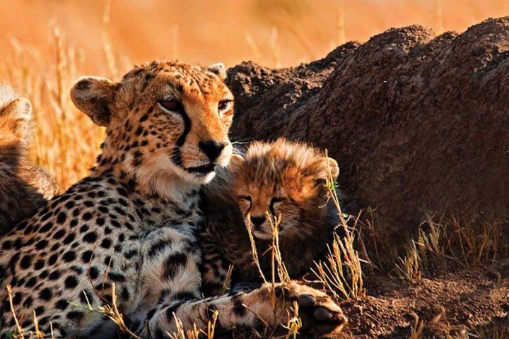 africa-kenya-masai mara-cheetah family