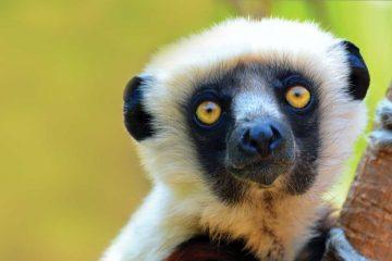 africa-madagascar-lemur