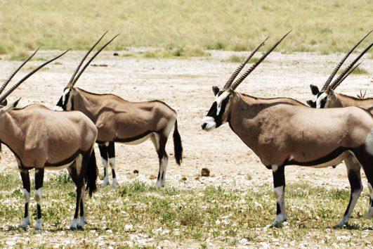 africa-namibia-etosha-gemsbok