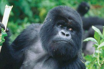 africa-rwanda-gorilla