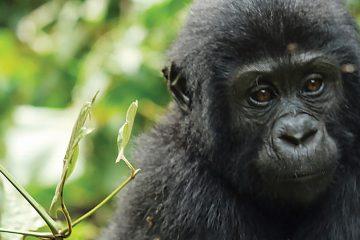 africa-uganda-bwindi-baby gorilla