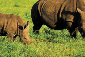 africa-uganda-rhino trekking