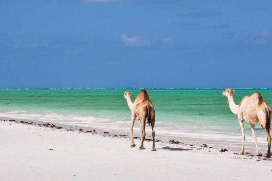 africa-zanzibar-beach-camels