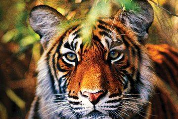 asia-india-ranthambore-bengal tiger