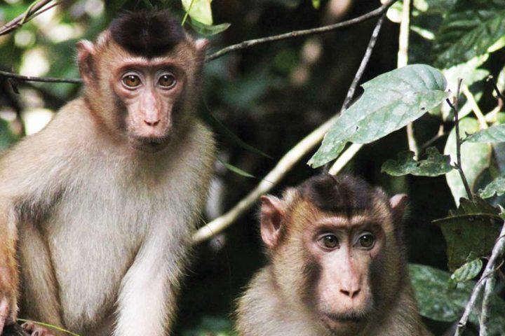 asia-malaysia-borneo-monkeys