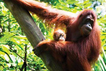 asia-malaysia-orangutans