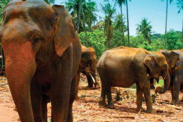 asia-sri lanka-pinnawela elephant orphanage