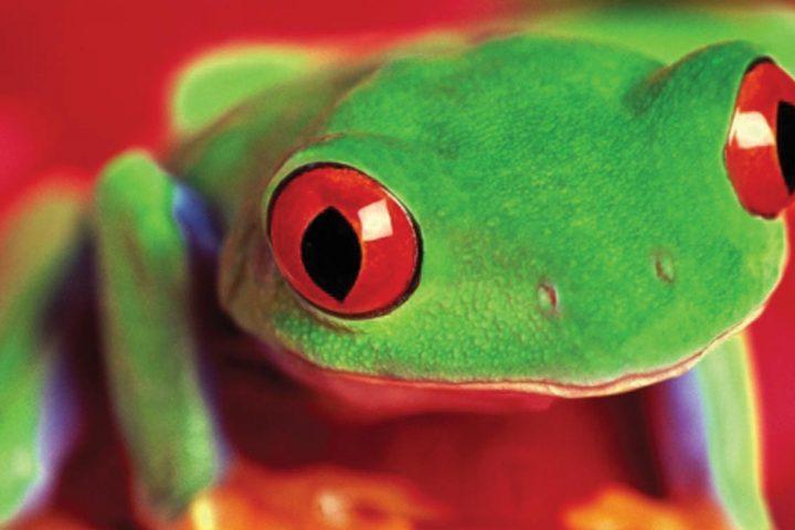 central america-costa rica-tree frog
