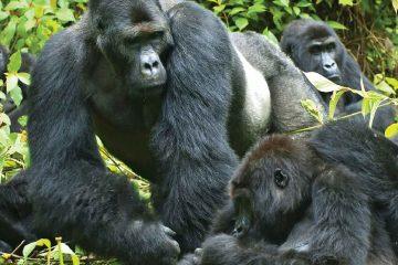 Image of Gorillas