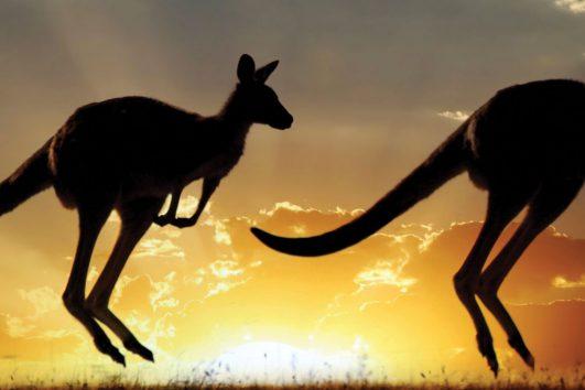 south pacific-australia-kangaroos