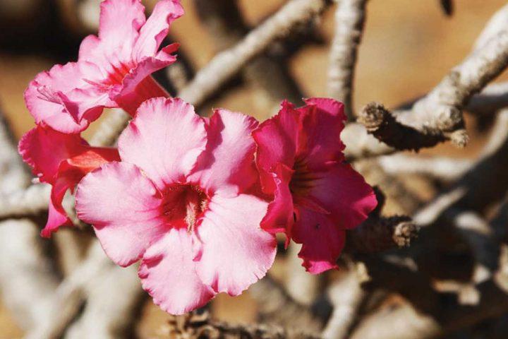 the middle east-oman-desert rose