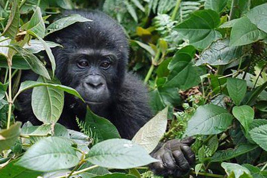 Africa-Uganda-Gorilla-Trek-Baby-Gorilla