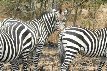 Africa-Uganda-Lake-Mburo-Zebras