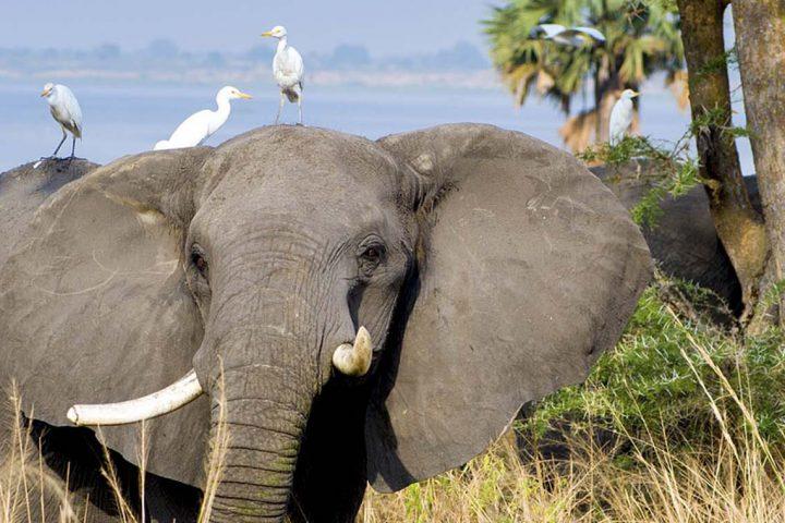 Africa-Uganda-Murchison-National-Park-Elephant