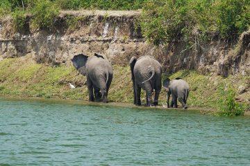 Africa-Uganda-Queeen-Elizabeth-Park-Elephant