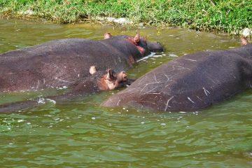 Africa-Uganda-Queen-Elizabeth-Park-Hippos