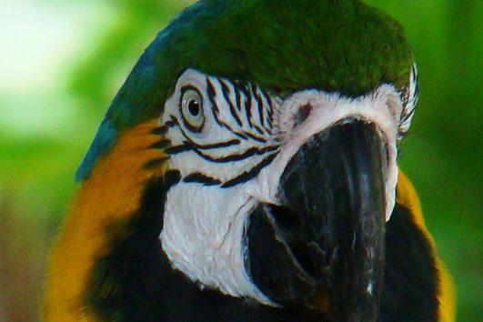 Central-America-Costa-Rica-Birding-Safari-Macaw