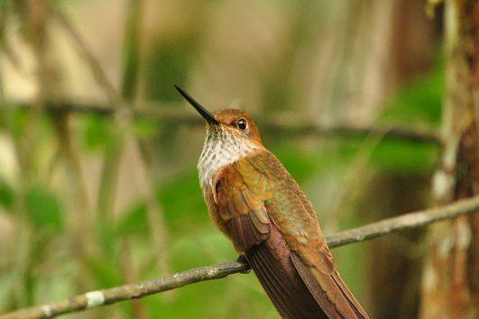 South-America-Colombia-Bird-Watching-Humming-Bird