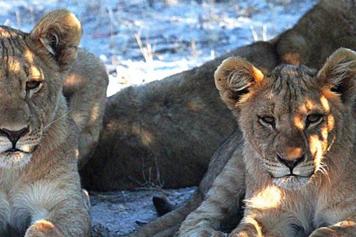 tour-africa-namibia-lion-etosha-pixabay-1305802