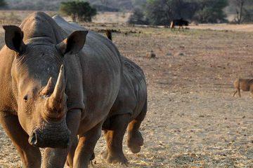 tour-africa-namibia-rhino-pixabay-1170132